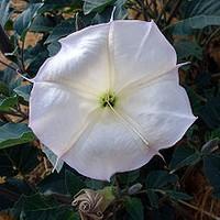 CharlesWright_220px-Datura_wrightii_flower2-thumb-320x320-544.jpg